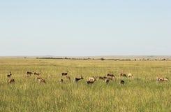 野生生物在马赛马拉,肯尼亚 免版税图库摄影