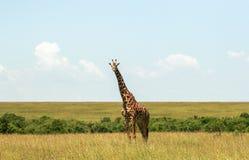 野生生物在马赛马拉,肯尼亚 图库摄影