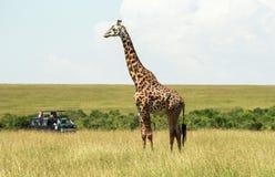 野生生物在马赛马拉,肯尼亚 库存照片