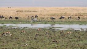 野生生物在Amboseli沼泽地 股票录像