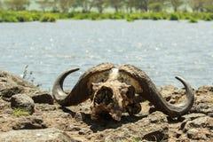 野生生物在Ngorongoro卡特,坦桑尼亚 免版税库存照片
