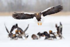 野生生物场面,冬天日本自然 飞行的罕见的老鹰 Steller ` s海鹰, Haliaeetus pelagicus,飞行的鸷,北海道, 免版税库存照片