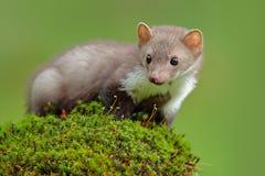 野生生物场面,法国 榉貂,市场foina,有清楚的绿色背景 白胸貂,森林动物细节画象  S 库存图片