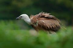 野生生物场面,巴尔干 鸟在栖所 兀鹫,欺骗fulvus,大鸷坐石头,岩石山,自然ha 免版税库存照片