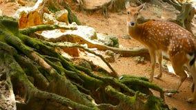 野生生物场面 幼小休耕白尾鹿,在森林围拢的野生哺乳动物的动物 察觉, Chitals, Cheetal,轴 影视素材
