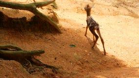 野生生物场面 幼小休耕白尾鹿,在森林围拢的野生哺乳动物的动物 察觉, Chitals, Cheetal,轴 股票视频