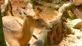 野生生物场面 幼小休耕白尾鹿,在森林围拢的野生哺乳动物的动物 察觉, Chitals, Cheetal,轴 股票录像
