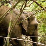 野生生物大象在竹森林里 免版税图库摄影