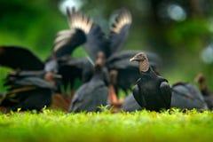 野生生物巴拿马 丑恶的黑鸟黑雕, Coragyps atratus,坐在绿色植被,与开放翼的鸟 雕 库存照片