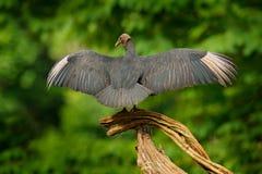 野生生物巴拿马 丑恶的黑鸟黑雕, Coragyps atratus,坐在绿色植被,与开放翼的鸟 雕 图库摄影