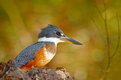野生生物巴西,河鸟 圈状的翠鸟, Megaceryle torquata,蓝色和橙色鸟坐树枝,在的鸟 免版税库存图片