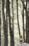 野生生物幼小猴子短尾猿 图库摄影