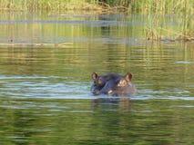 野生生物摄影在博茨瓦纳 库存图片