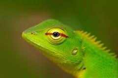 野生生物斯里兰卡 绿色庭院蜥蜴, Calotes calotes,异乎寻常的热带动物的细节眼睛画象在绿色自然栖所, 免版税图库摄影