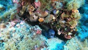 野生生物水下的-海鳝和一只寄居蟹在礁石-舒伯潜水在陆间海 股票视频