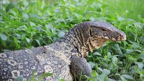 野生生物生活一监控蜥蜴在河沿放松 免版税库存照片
