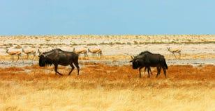 野生生物的储蓄图象在非洲国立公园 免版税库存图片