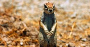 野生生物的储蓄图象在非洲国立公园 库存图片