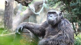 野生生物老黑猩猩 股票录像