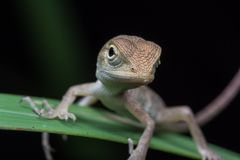 野生生物蜥蜴 免版税图库摄影