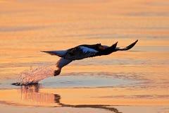 野生生物行为场面,自然 橙色太阳,美好的日出 更多海洋投资组合日出 美丽的Steller ` s海鹰, Haliaeetus pela 免版税库存图片