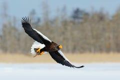 野生生物行动从自然的行为场面 与鱼的老鹰飞行 美丽的Steller ` s海鹰, Haliaeetus pelagicus,飞行的b 免版税库存图片