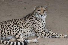 野生生物豹子 免版税库存图片