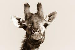 野生生物长颈鹿动物顶头黑白色葡萄酒 库存照片