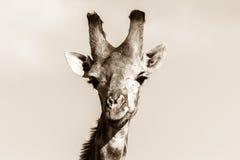 野生生物长颈鹿动物顶头黑白色葡萄酒 免版税图库摄影
