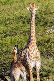 野生生物长颈鹿小牛动物原野 库存图片