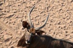 野生生物面孔看照相机 免版税库存照片