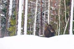 野生生物风景 唯一公牛麋在冬天森林自然栖所 免版税库存照片