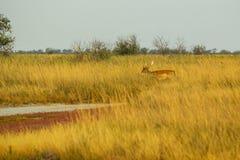 野生生物风景-在干草原丛林的男性小鹿黄鹿黄鹿 库存图片