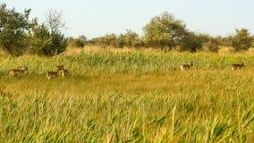 野生生物风景-野生小鹿黄鹿黄鹿牧群在干草原丛林的 免版税库存图片