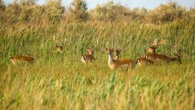 野生生物风景-野生小鹿黄鹿黄鹿牧群在干草原丛林的 免版税图库摄影