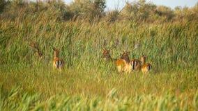 野生生物风景-野生小鹿黄鹿黄鹿牧群在干草原丛林的 图库摄影