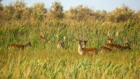 野生生物风景-野生小鹿黄鹿黄鹿牧群在干草原丛林的 免版税库存照片