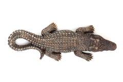 野生生物鳄鱼开放嘴 免版税库存照片