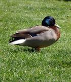 野生生物鸭子 免版税库存照片