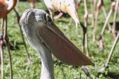 野生生物鹈鹕,与巨大的额嘴的鸟 库存照片