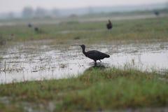 野生生物,候鸟,光滑的朱鹭,鸟,沼泽地,水 库存图片