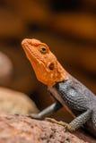 野生生物-岩石蜥蜴 库存照片