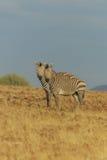 野生生物-斑马的 免版税库存图片