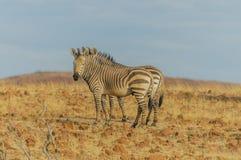 野生生物-斑马的 免版税库存照片