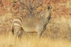 野生生物-斑马 库存图片