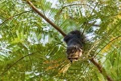 野生生物-灰鼠 库存照片