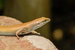 野生生物-蜥蜴 库存照片