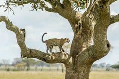 野生生物-豹子 库存照片
