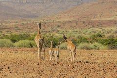 野生生物-长颈鹿的 库存图片