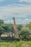 野生生物-长颈鹿 免版税库存图片